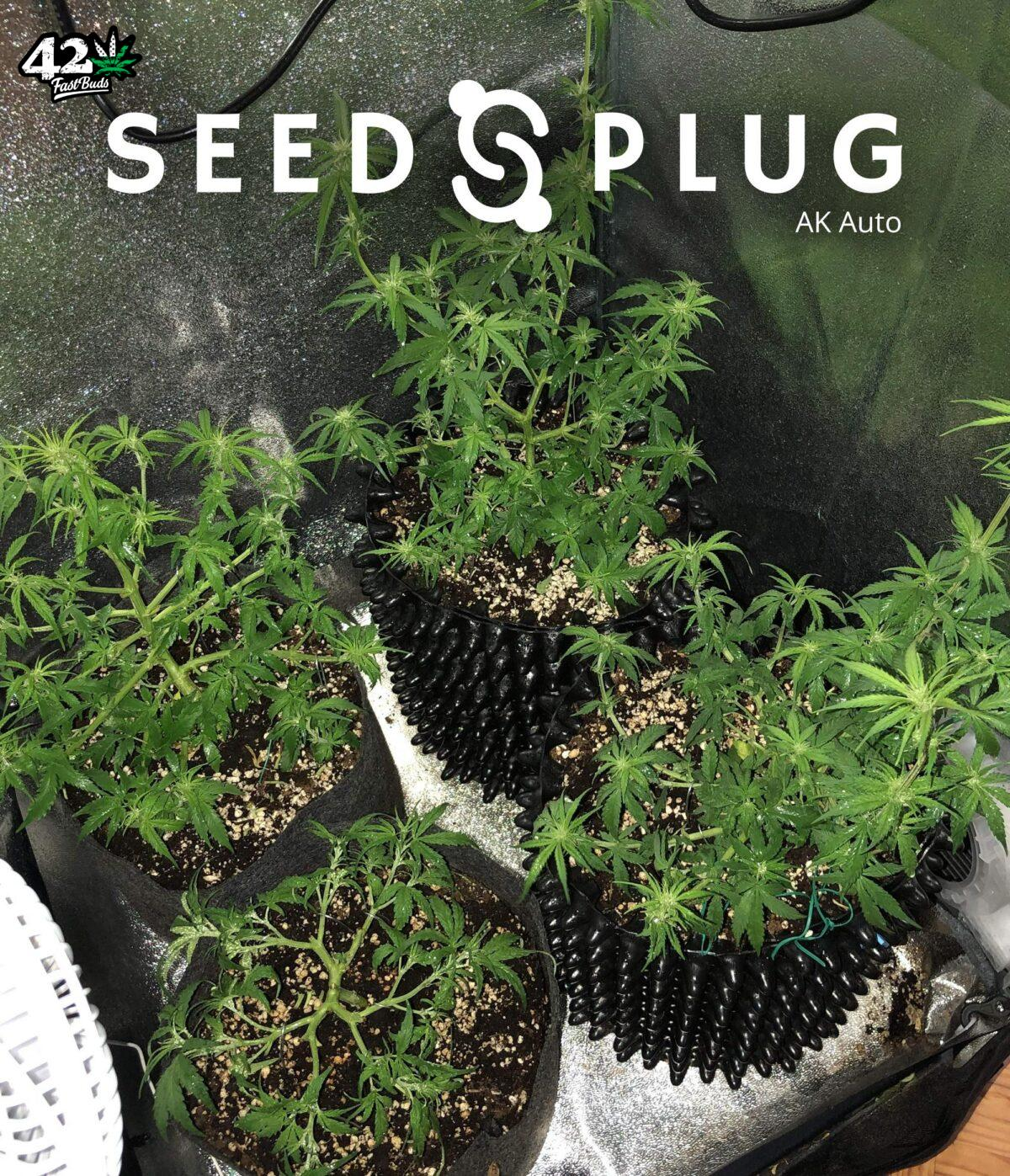 Original Auto AK by Fast Buds - SeedsPlug