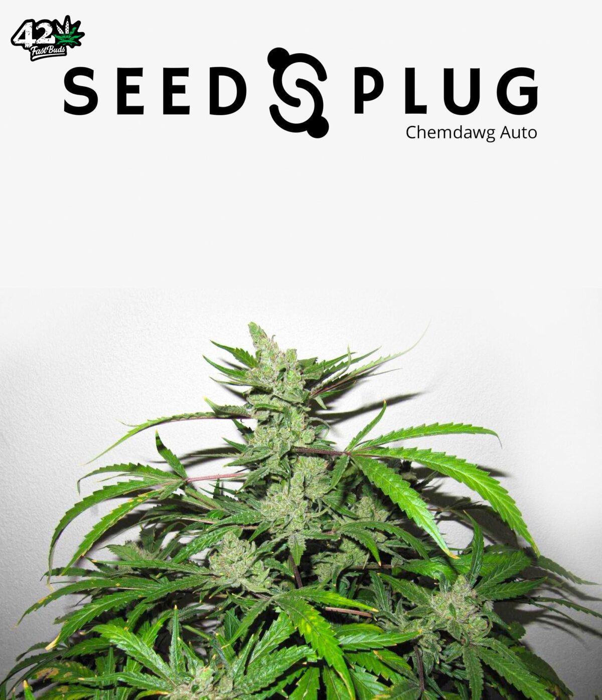 Original Auto Chemdawg by Fast Buds - SeedsPlug