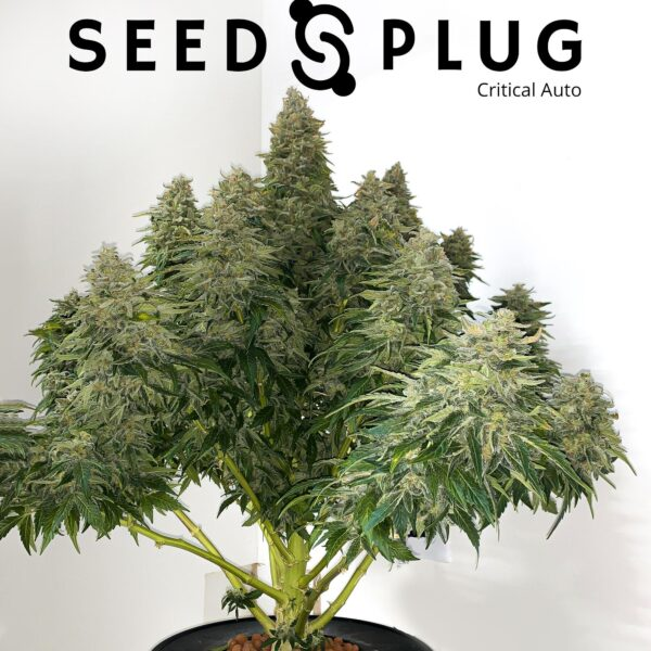 Original Auto Critical by Fast Buds - SeedsPlug