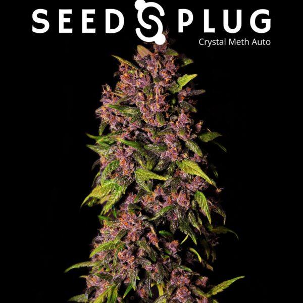 Crystal Meth Auto by Fast Buds - SeedsPlug
