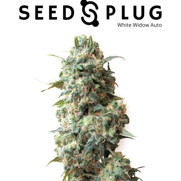 Original Auto White Widow | Fast Buds Seeds